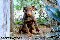 www.elitek-9.com  #dobermansofinstagram #dobermanpinscher #doberman #exotics #vonriesig #vonriesigprotected #executiveprotectiondogs Doberman Pinscher, K9 Kennels, Rottweiler Puppies, Exotic Cars, Arizona, Police, Train, Dogs, Animals