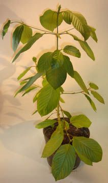 Kratom Plants - You can find all your smoking accessories right here on Santa Monica #Kratom #Teagardins #SmokeShop