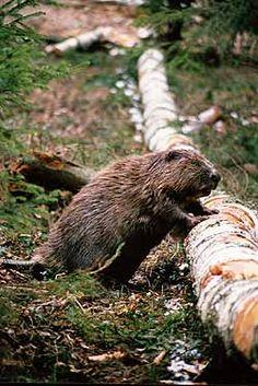 European beaver, Wigry National Park, northeast Poland