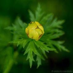 Trollius europaeus Globeflower