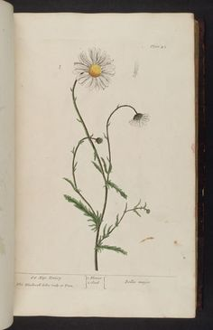 A Curious Herbal by Elizabeth Blackwell 1737