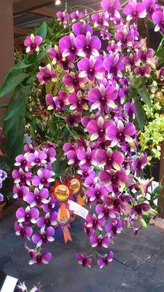 OrchidCraze: MAHA Orchid Show 2012: