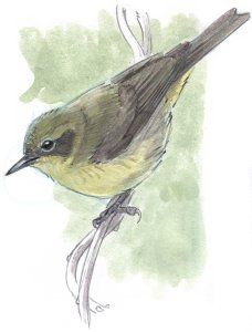 How to Draw an Orange-crowned Warbler step-by-step - John Muir Laws Leaf Drawing, Nature Drawing, Bird Drawings, Animal Drawings, Drawing Faces, Pencil Drawings, Drawing Exercises, Watercolour Tutorials, Drawing Tutorials