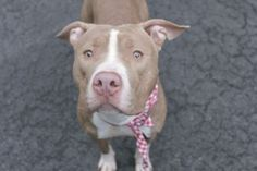 KING – A1072211...**RETURNED 06/20/16, DOH HOLD**  NEUTERED MALE, Y BRINDLE / WHITE, AM PIT BULL TER MIX, 1 yr, 1 mo RETURN – EVALUATE, HOLD FOR DOH-B Reason BITEPEOPLE ...as soon as the Department of Health 's hold is over , King will be put on the Destroy List .