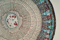 双子葉植物の茎の横断面の顕微鏡写真 (c)BRUCE IVERSON/a.collection
