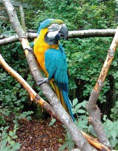 A large character in the Bird Garden at Harewood, our Blue Golden Macaw provides a great way for kids to learn about rare species. Blue Gold Macaw, Rare Species, Rare Birds, Beautiful Birds, Exotic, Garden, Kids, Animals, Character