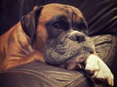 Such a sweet smoothy face! Boxer And Baby, Boxer Love, Dog Love, Boxer Puppies, Dogs And Puppies, Doggies, Boxer Rebellion, Dog Rules, I Love Girls