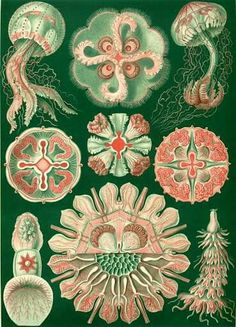 Jellyfish Print, Scientific Illustration by Ernst Haeckel, Plate 98 Discomedusae from Kunstformen der Nature, Marine Biology Poster Illustration Photo, Nature Illustration, Ernst Haeckel Art, Sibylla Merian, Natural Form Art, Vintage Prints, Vintage Art, Jellyfish Art, Illustration Botanique