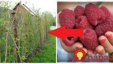 Najlepšia rad od profíka, ako na maliny: Kto ju pozná, nech sa teší na mega úrodu od jari až do prvých mrazov! Strawberry, Gardening, Fruit, Flowers, Plants, Advent, Garden, Florals, Strawberry Fruit