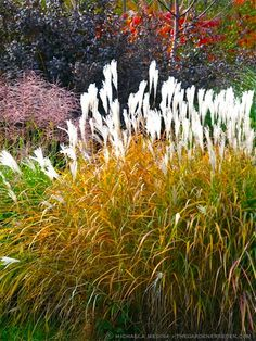 Miscanthus sinensis 'Purpurascens' (foliage turns more red/pink color, white flowers
