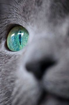 If you are looking for a truly unique and beautiful kitten you don't have to look much further than the Russian Blue breed. Delightful Discover The Russian Blue Cats Ideas. Beautiful Cats, Animals Beautiful, Cute Animals, Green Animals, Beautiful Ocean, Animals Images, Simply Beautiful, Regard Animal, Gatos Cats
