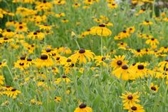 http://www.westcoastseeds.com/product/Flower-Seeds/Rudbeckia/#sthash.3vpolUuV.dpbs We love Rudbeckia, named for Olof Rudbeck the Younger.