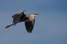 Title  Great Blue Heron In Flight   Artist  Debra Martz   Medium  Photograph - Photography