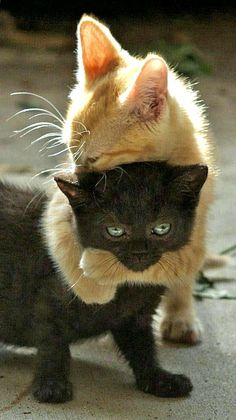 Amour de chats 🧡🧡🧡 chats calin – Chats et chatons- chaton mignon -… Cute Cats And Kittens, I Love Cats, Crazy Cats, Kittens Cutest, Black Kittens, Kitty Cats, Cute Black Kitten, Puppies And Kitties, Sphynx Cat