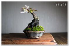 Another beautiful Shohin Bonsai.  The photography is as powerful as the tree and pot themselves.
