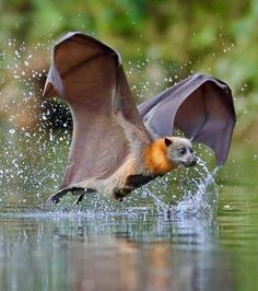 Flying Fox bat, I know this isn't a bird, but the structure of the wings is similar. When drawing the wings of the dragon, they could be connected to its feet like the Fox Bat. Nature Animals, Animals And Pets, Baby Animals, Funny Animals, Cute Animals, Wild Animals, Wild Life, Murcielago Animal, Wildlife Photography