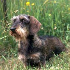 So cute- wirehaired dachshund