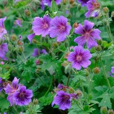 Great perenial blue geranium.