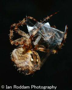 Male wrapped in silk Garden Spider, Silk, Silk Sarees