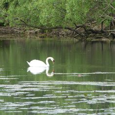 It's not difficult to take pretty photos of the swans in Grenadier Pond (High Park, Toronto). But I think this is one of my favourites.