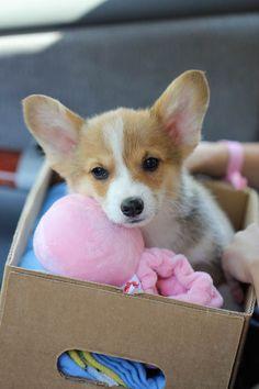 Corgi puppy Butters.. cute!