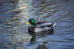 Mallard Ducks - So I Was Thinking Mallard, Birds, Park, Bird, Parks