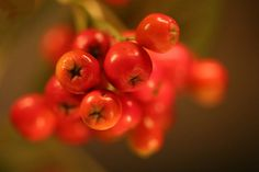 Sorbus aria 'Majestica' - berries - HansHolt - Canon EOS 6D - f/2.8 - 1/80sec - 100mm - ISO 12800 Photo was taken in the evening under trees with available light hence the high ISO - Sorbus aria the whitebeam or common whitebeam is a European ... http://ift.tt/2d5IB51 IFtemppicpinned in Building blocksdownld in ios #September 17 2016 at 07:13PM#via IF