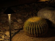 Barrel Cactus with a small yard light