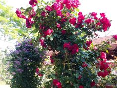 Florentina Rose