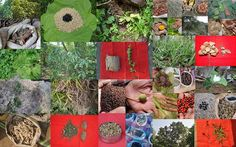 Medicinal Rice based Tribal Medicines for Diabetes Complications and Metabolic Disorders (TH Group-1022) from Pankaj Oudhia's Medicinal Plant Database