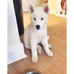 This cutie, Olaf the husky! Kristin Taylor from Pentatonix's Dog!