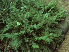 Christmas fern got its name because it is evergreen and as a result its fronds can be used for winter decorations. It's also pretty easy to grow, so give it a try if you have a shady, moist spot! Gardening Zones, Hydroponic Gardening, Organic Gardening, Planting, Evergreen Ferns, Evergreen Groundcover, Shade Evergreen, Shade Perennials, Shade Plants