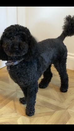 Eddie. Black miniature poodle. Age 6 1/2 Posing for his picture in my hall  #poodle #miniaturepoodle #blackpoodle