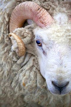 I'm good, what about ewe? This could make a cool painting #wooly Aries | Flickr - Photo Sharing!