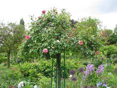 Rózsa ültetése, gondozása Fruit, Plants, Plant, Planets