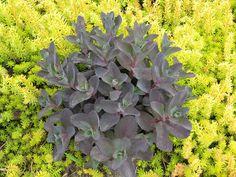 Sedum 'Black Jack' with Sedum 'Angelina'; Mark Denee at Cool Plants blog