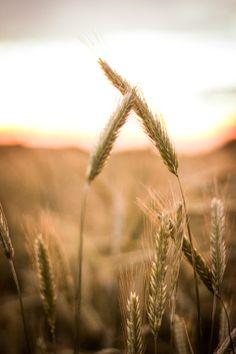 Wheat by Roman Stranai on 500px