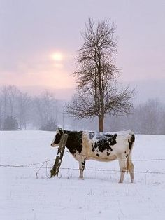 cow...snow... by Amy Claire