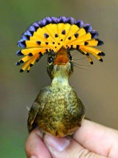 Royal Flycatcher - Haute Couture Hat