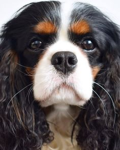 Cavalier King Charles Spaniel – Graceful and Affectionate Cavalier King Charles Dog, King Charles Spaniel, Pet Dogs, Dogs And Puppies, Doggies, Spaniel Dog, Spaniels, Beautiful Dogs, Dog Art