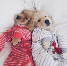 Golden Retriever puppies snuggled in pajamas