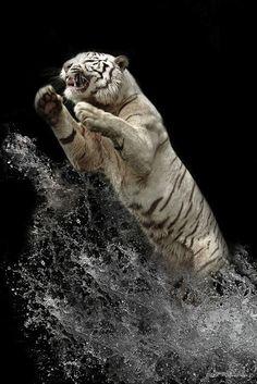 ¿Cómo obtuvo el tigre blanco su singular coloración? (Y algunas fotos de estos impresionantes felinos)