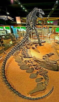 170 best Favorite extinct Animals  images on Pinterest   Dinosaurs     I was a docent at the University of Michigan s natural history museum my  freshman year