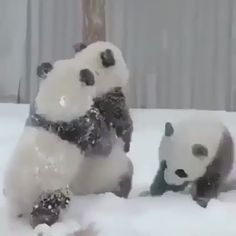 pandas playing in the snow warms our heart! ❄️❤️🐼 Baby pandas playing in the snow warms our heart! ❄️❤️🐼 Cute Little Animals, Cute Funny Animals, Cute Dogs, Baby Panda Bears, Baby Pandas, Panda Babies, Cute Panda Baby, Image Panda, Pandas Playing