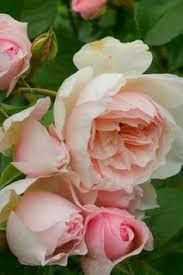 'The generous gardener' climbing rose for fence - fantastic scent, long flowering period