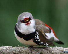 The Diamond Firetail (Stagonopleura guttata) is a species of estrildid finch that is endemic to Australia. Wikipedia.