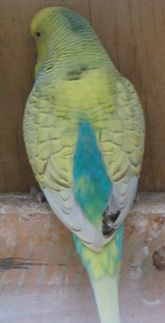 Skyblue Spangle yellow Face Type 2 - see the occasional darker feathers that can pop up.