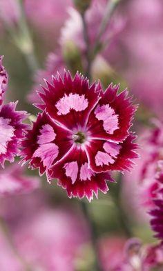 Dianthus barbatus | Wonderful Places