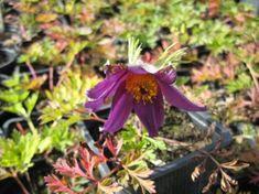 Leánykökörcsin (Pulsatilla grandis) Plants, Plant, Planets