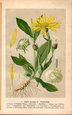 1901 Antique Botanical Print Arnica montana Vintage Old